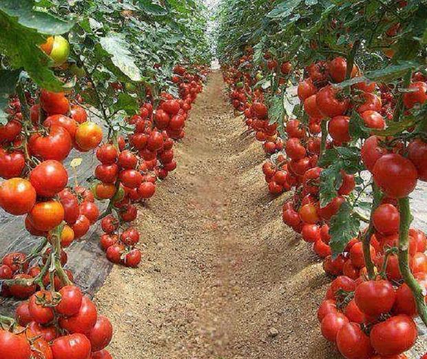 Азербайджанские помидоры: рост экспорта Новости